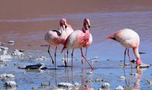 Bolivia, flamingo