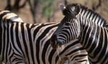 Tanzania, Serengeti zebre