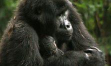 Uganda gorilla with baby
