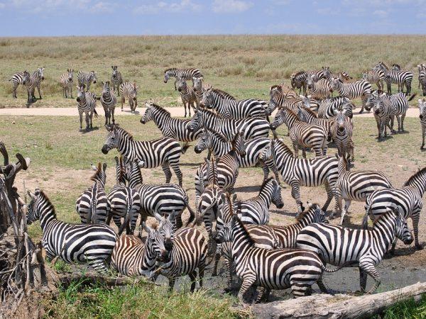 viaggi di nozze tanzania serengeti zebras